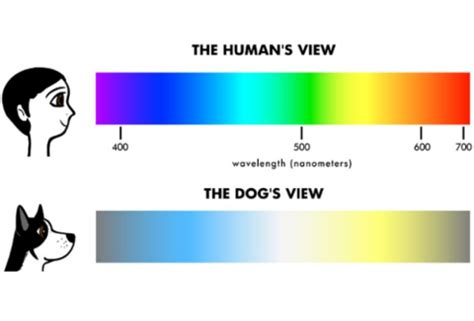 can dogs see colors do dogs see color or black and white wopet