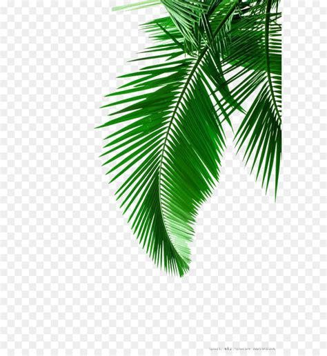arecaceae leaf white clip art green palm leaves picture