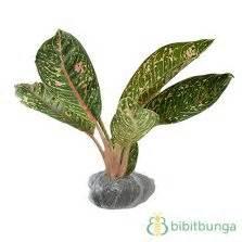 Tanaman Aglaonema Heng Heng Aglonema Hengheng tanaman aglaonema bidadari bibitbunga