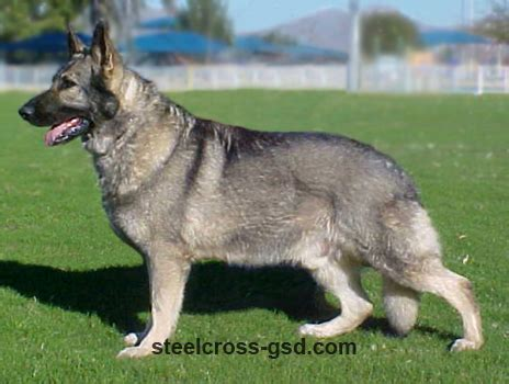 grey german shepherd puppies steel cross german shepherd dogs