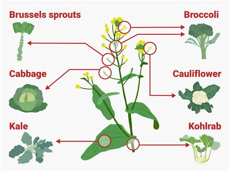 6 vegetables that are the same plant these 6 common vegetables are actually all the same plant
