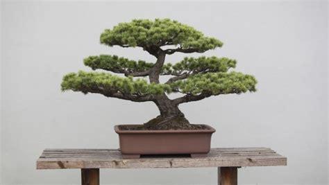 bonsai haus faszination bonsai ein baum in der schale