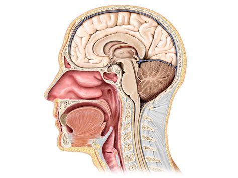 sagittal section of head human head sagittal view medgraphik