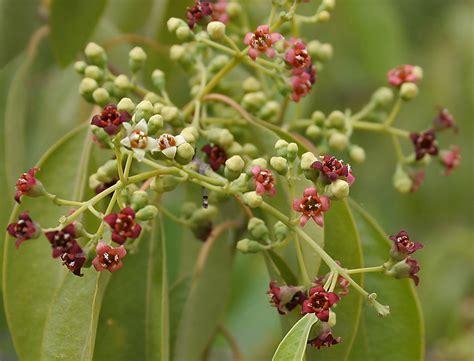 boab fiore australiano shaktili