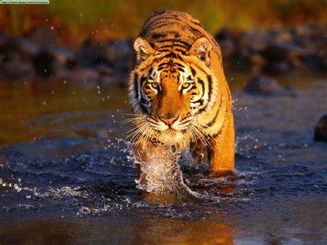 animal bengal tiger world animal beauti and bengal tiger