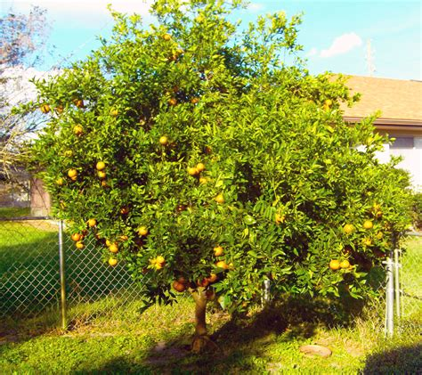 trees in backyard orange tree in backyard by andstaydead on deviantart