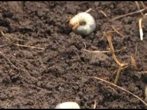 how to kill grubs naturally organic grub