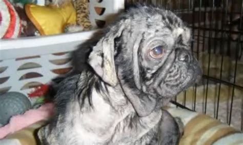 pug rescue stories joshua the pug s rescue story of will you in tears