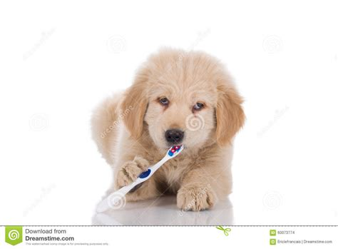 best brush golden retriever golden retriever puppy with strabismus brushing his teeth