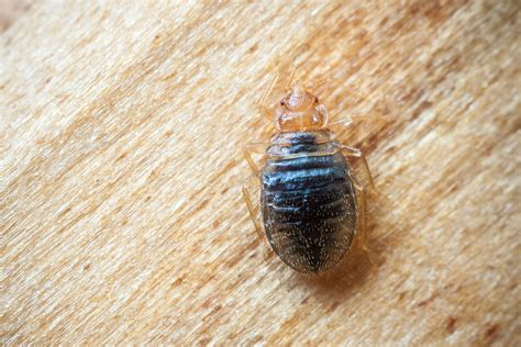 how bed bugs look where do bed bugs hide away