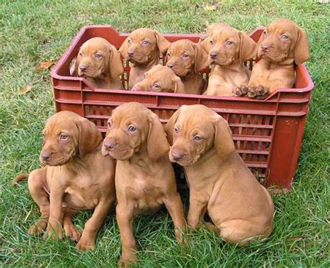viszla puppies pictures of vizsla dogs pets world