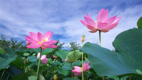 wallpaper 3d lotus pink lotus flowers wallpaper 1276 3840 x 2160