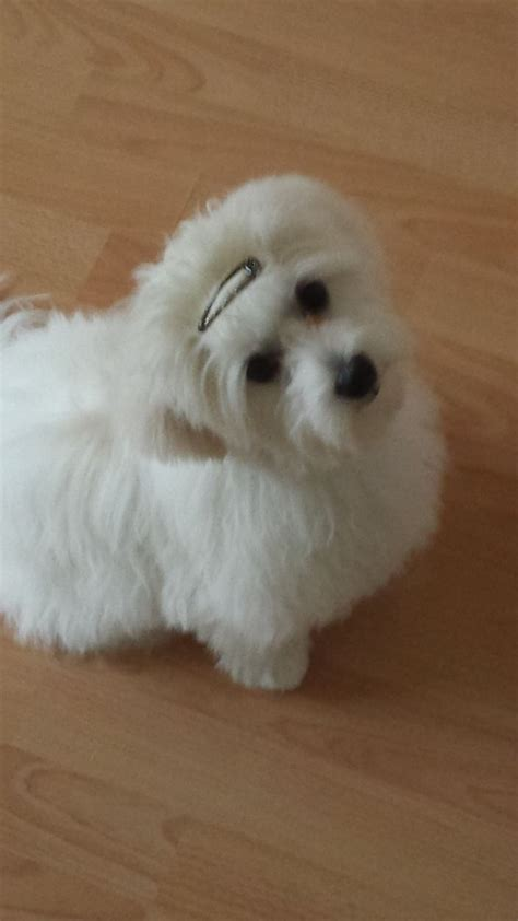 anti allergy dogs lovely anti allergic puppies kettering northtonshire pets4homes