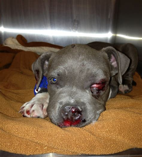 pitbull newborn puppies pitbull puppy and baby pictures galleryhip the hippest of pitbulls litle pups
