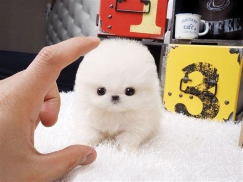teacup pomeranian adoption 25 best ideas about teacup puppies for sale on