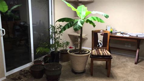 plants to grow indoors how to grow a large banana plant indoors youtube