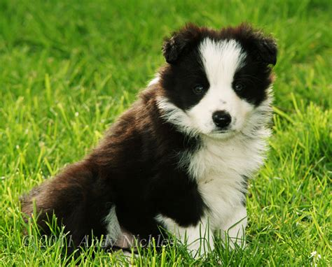 sheep puppies border collie sheepdog puppy dennis
