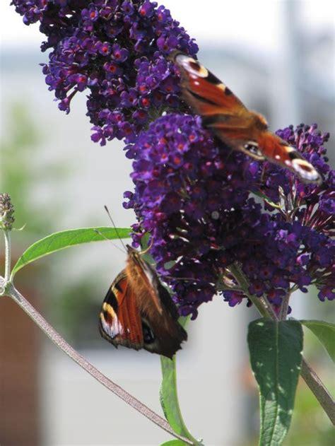 Winterharte Stauden Für Den Garten 723 by Sommerflieder Schmetterlingsstrauch Black