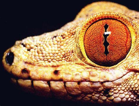lizard eyeballs cliparts   clip art