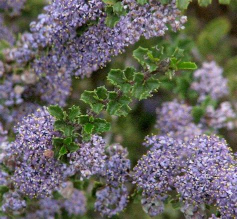 blue foliage plants ceanothus blue leaf mountain lilac
