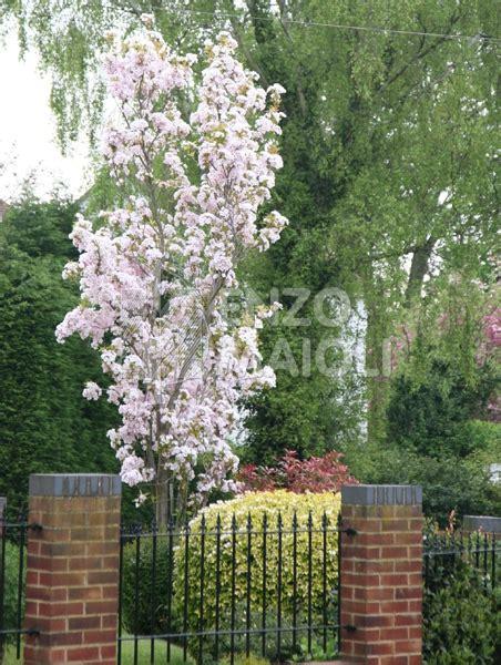 da fiore prunus maioli frutti antichi