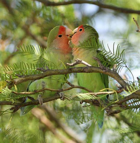 mexicanlove bird birds photograph by christian heeb