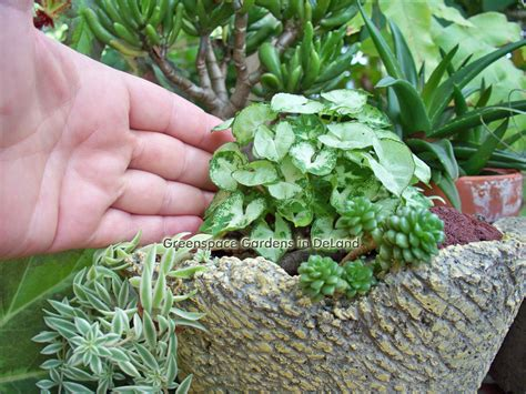 a really true syngonium syngonium podophyllum mini
