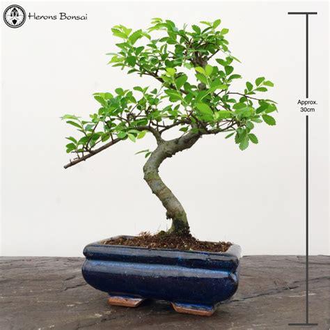 how do you bonsai christmas tree show your bonsai related gifts bonsai