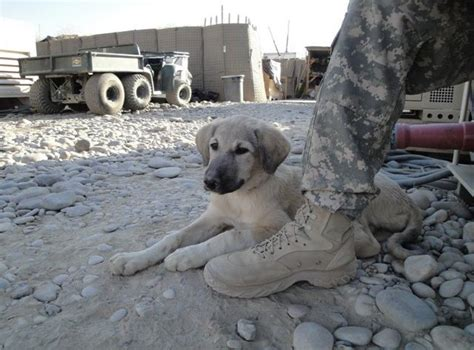 puppy rescue mission organization reunites troops afghan dogs news