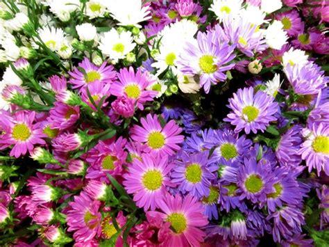aster fiori aster fiore autunnale per vasi e giardini world