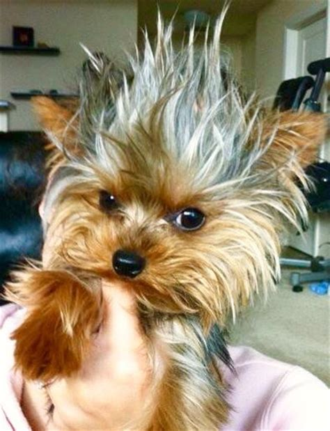 are yorkies yappy 227 best images about yappy terriers on mephisto puppys and yorkie