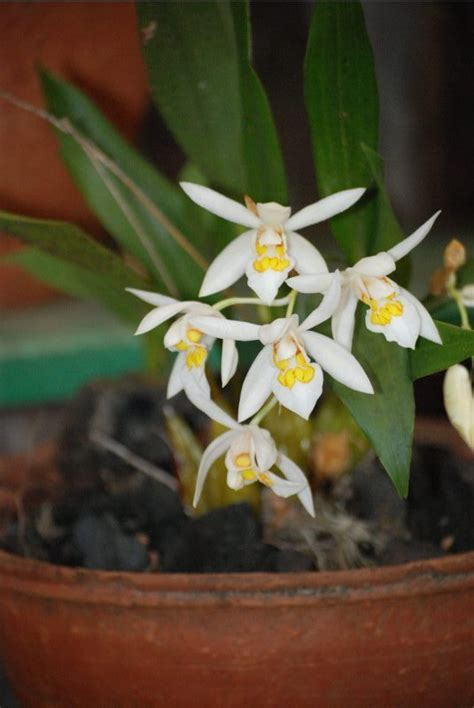 Oberonia Anceps By Tambo Orchids orchids from east india