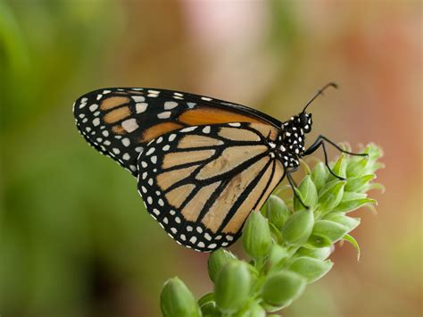 the monarch of the jos 233 andr 233 s why we need to protect monarch butterflies