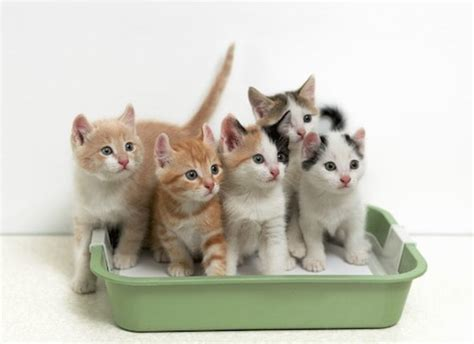 how to a to use litter box how to a cat to use a litter box