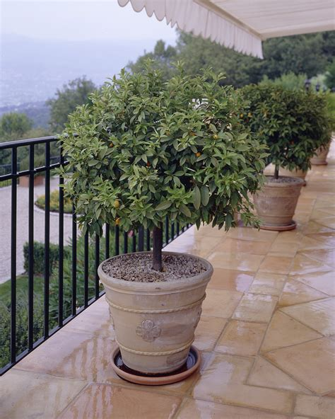 Patio Trees: Everything You Ever Wanted To Know   Fast