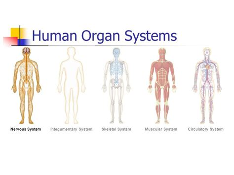 section 35 2 the nervous system human body systems ppt video online download