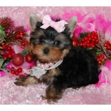 teacup yorkie breeders in ky pets louisville ky free classified ads