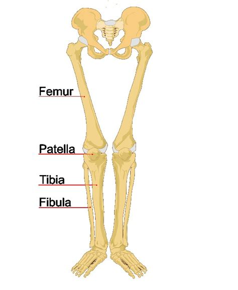 The Leg L by Human Leg Bones Labeled L Biolulia European Sections