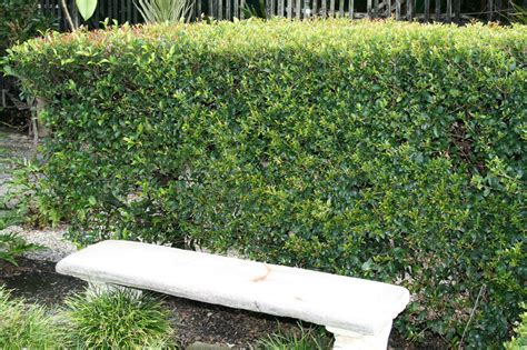 Topiary Bush - syzygium australe bush christmas common name hedging lilly pilly 175mm pot dawsons garden