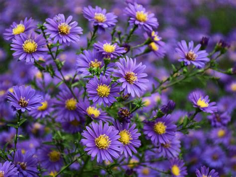 aster flowers wallpapers my note book asters purple yellow flowers ornamental plants from family