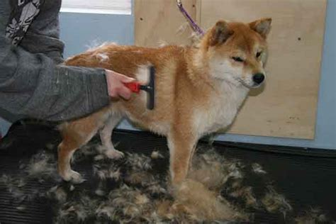 It S Done Nana Shiba 1 how to manage the shedding shiba inu