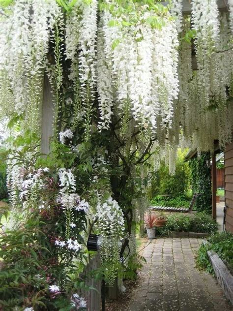 white wisteria a growing concern pinterest