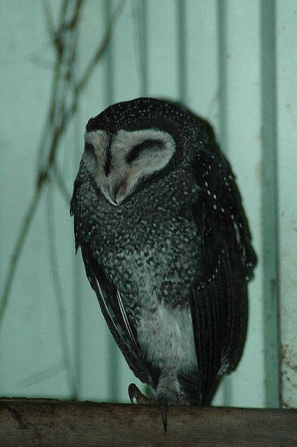 owls owls owls aves pinterest