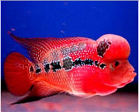 Makanan Ikan Hias Rainbow jenis dan harga louhan ikan hias air tawar laut dan aquarium