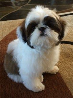 1 month shih tzu puppy shih tzu puppies www pixshark images galleries with a bite