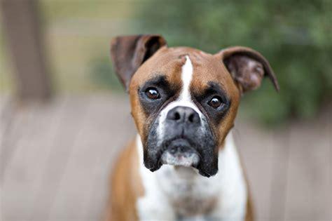 boxer names boxer names dogtime