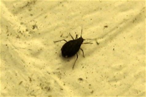 black beetle bug in house house bugs 6 small black beetle like bug biological science picture directory