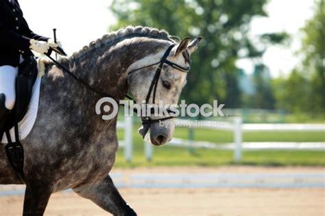 Cavallo Pomellato by Bellissimo Cavallo Pomellato Cavallo Di Dressage Foto