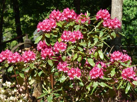rhododendron fertilizer schedule when and how to fertilize rhododendron bushes