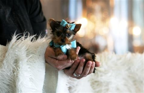 yorkie puppies for sale fresno ca puppies for sale in california